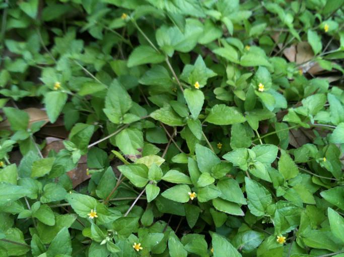 Plant 12 Tiny Yellow Flowers